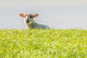 Schafe gibt es viele in Ostfriesland