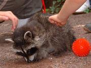 Der Tierpark in Köthen: Stolz wie ein Pfau