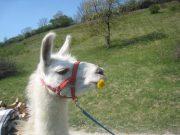 Kindereburtstag mit den Unstrut-Lamas