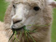 Tierbegegnungen mit Lama
