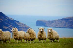 Schafe auf Neuseeland